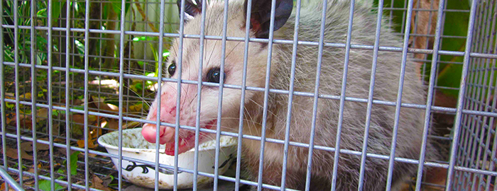 Disease transferred by fleas on rats, opossums found in Galveston County