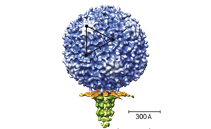 Virus Structure & Assembly