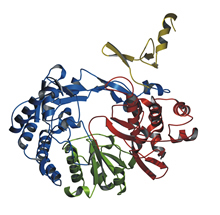 Crystal structure of BVDV polymerase. The N-terminal, fingers, palm, and the thumb domain are shown in yellow, blue, green, and red, respectively.
