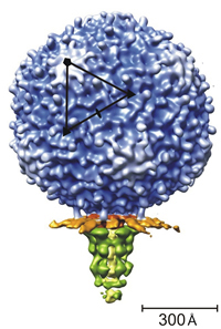 Structure of bacteriophage N4 determined by cryo-EM and 3D image reconstruction techniques.